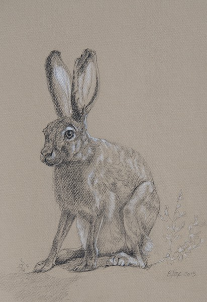 "Tolai Hare 12x10"" Wolff's Carbon Pencil and Prismacolor pencil on Canson paper"