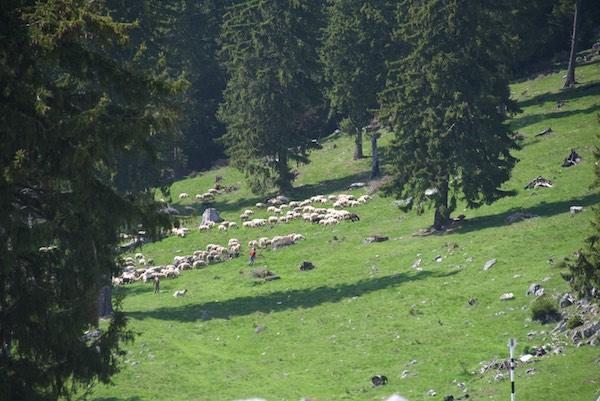 23 sheep and shepherds
