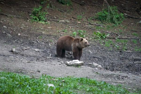 33 bear