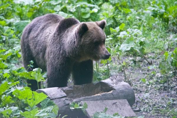 34 bear 2