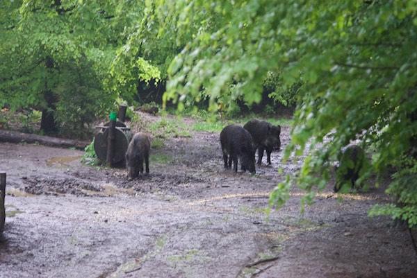 50 wild boar