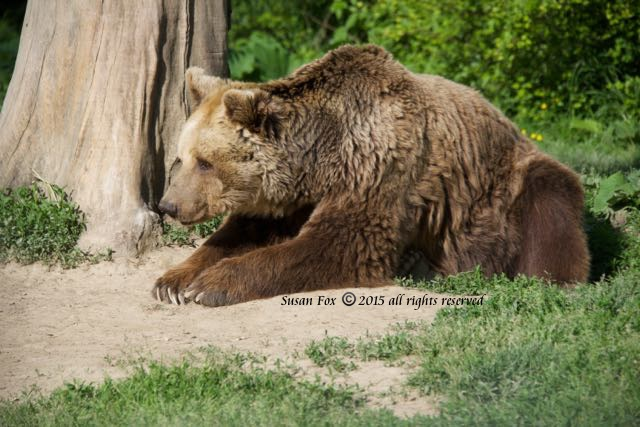 libearty bear 2
