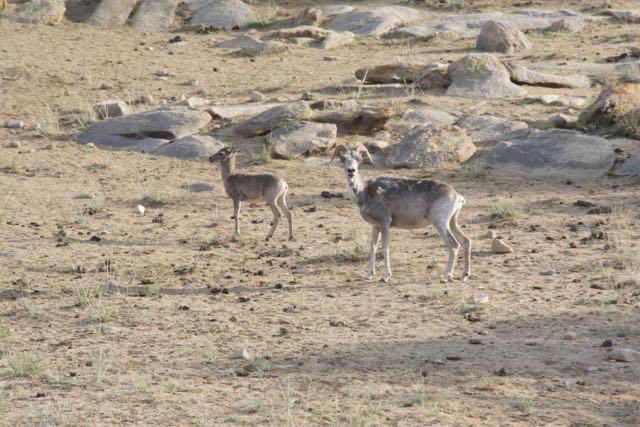 argali ewe and lamb