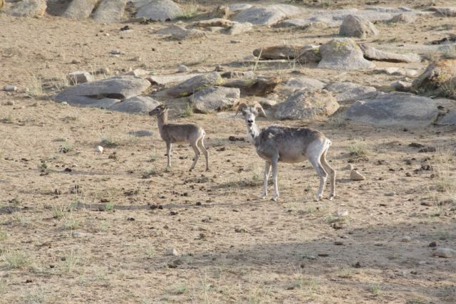 argali ewe and lamb