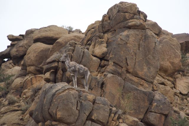 argali on rock
