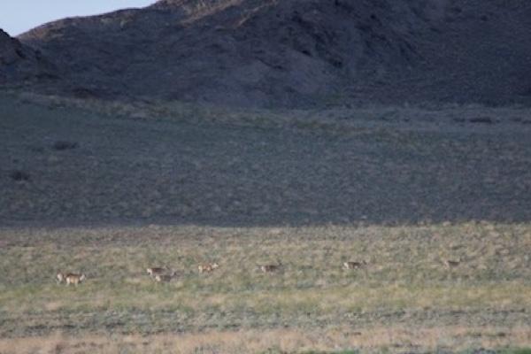 Mongolian gazelles