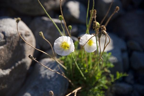 17. JHU white poppies