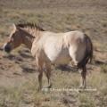 19c KT takhi stallion