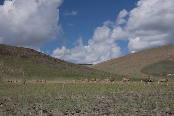 Thirty argali ewes and lambs