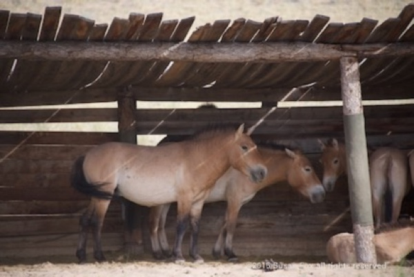 Takhi stallion