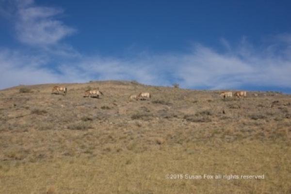 Takhi family group on hillside