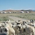 19. sheep jam