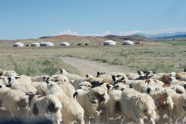 A sheep jam