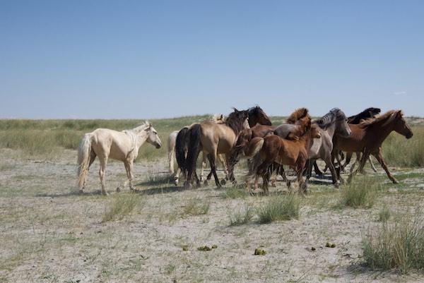 Local Mongol horses.