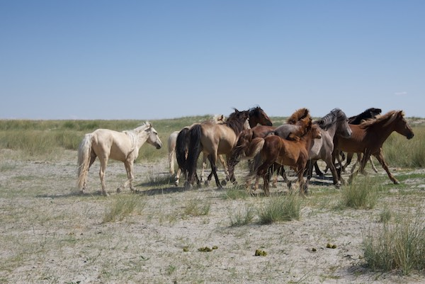 Local Mongol horses.