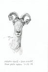 23-argali-ewe-from-photo