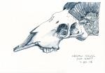 25-argali-skull