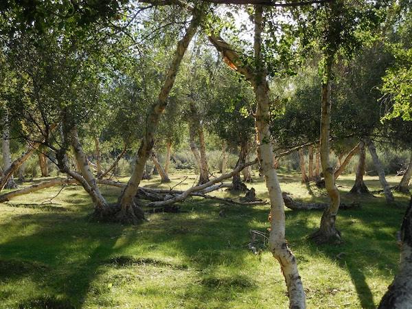 Magic light among the birches