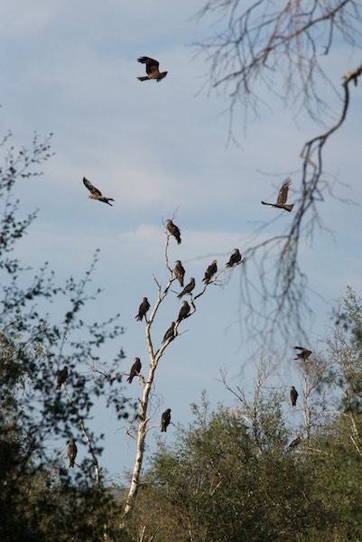 """The """"kite tree"""""""