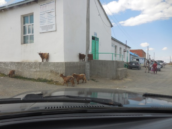 Goats finding a raised vantage point on a building