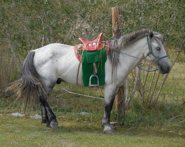 Good-looking grey horse with very nice saddle