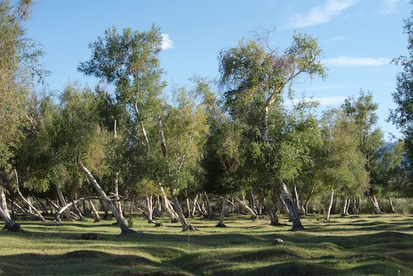 Birch tree grove