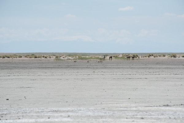 Four saiga antelope