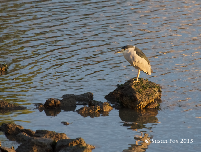 Black-crowned night heron. Minding its own business.