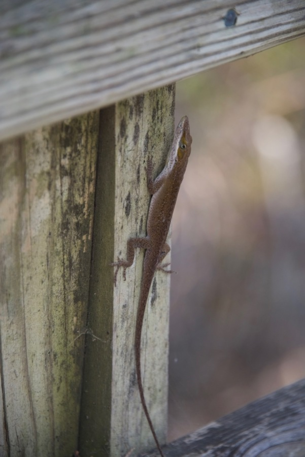 I took a break at a bump-out seating deck and there was this green anole (currently turned brown) who stayed around for me to take quite a few photos