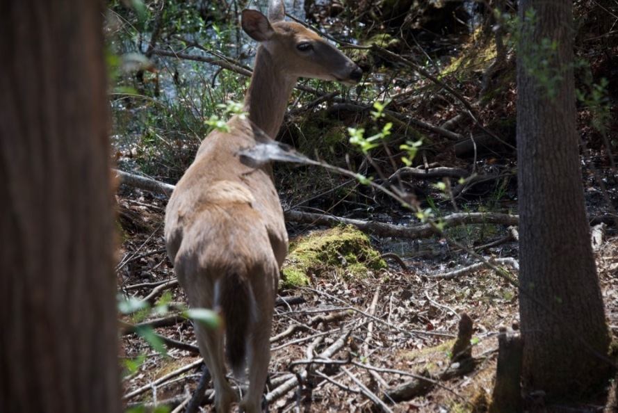 """I was on another section of boardwalk over water and there was suddenly a loud """"galoop"""" of water. This whitetail doe came out from underneath. I walked right over where she was. But she stopped, had a little chin scratch and then started to browse the leaves on the trees."""