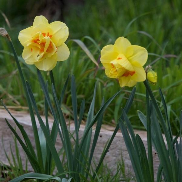 """Tahiti"" daffodils"