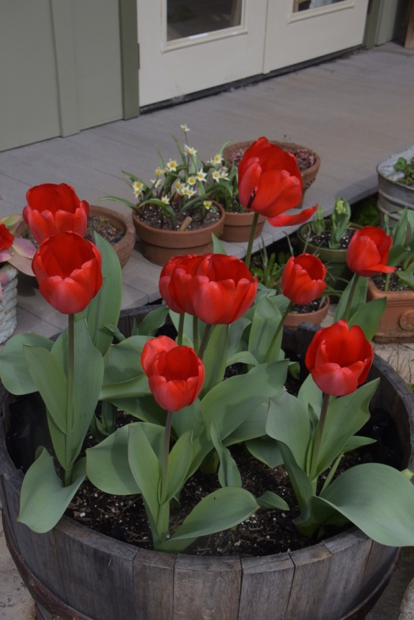 """Red Impression"" and ""Coleur Cardinale"" tulips"