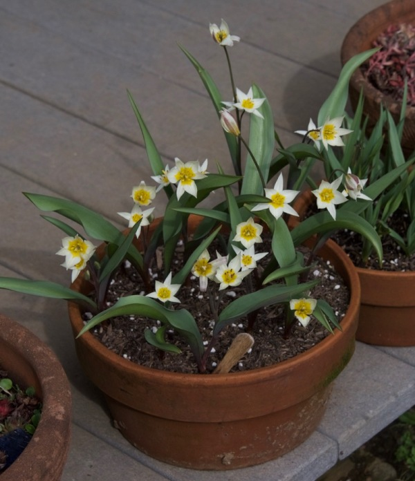 "Species tulip ""Turkestanica"""