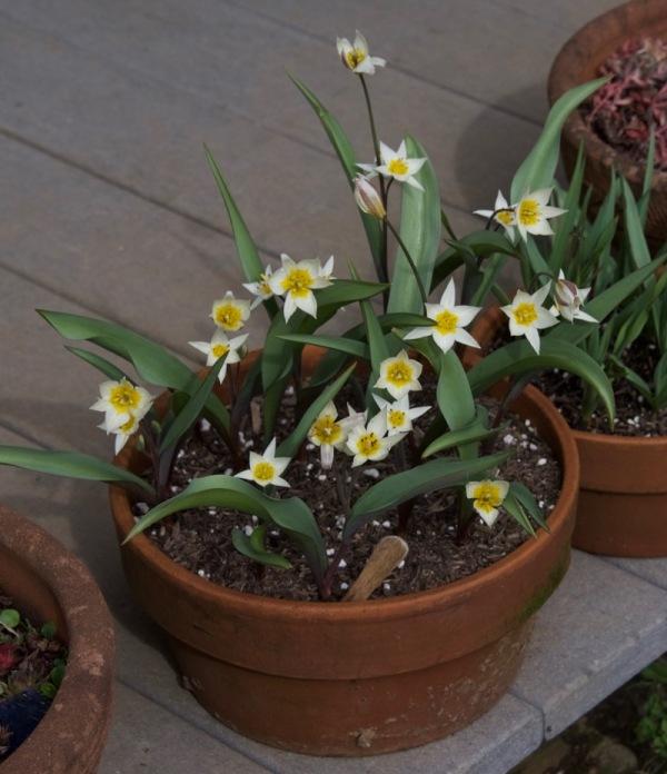"Species tulip ""Turkestanica"""