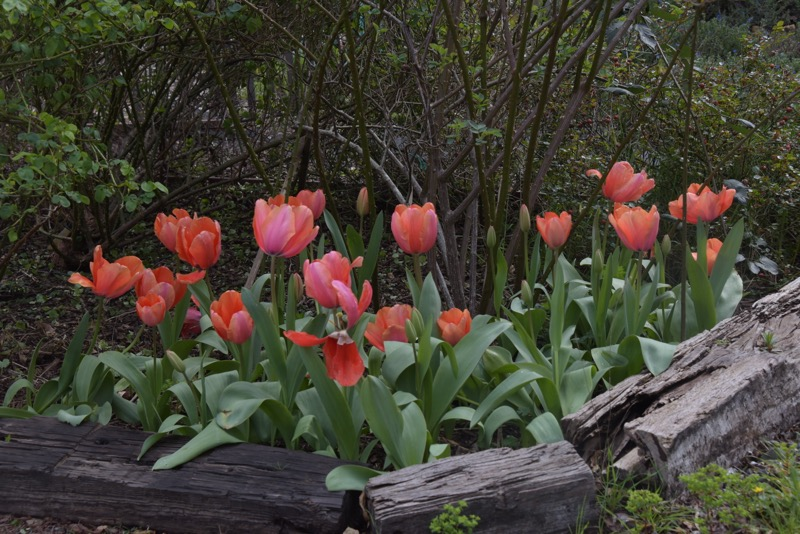"""""""Apricot Impression"""" tulips, looking a little blowsy"""