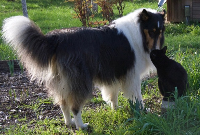 Hailey, our three year old rough collie girl and thirteen year old Eowyn...buddies