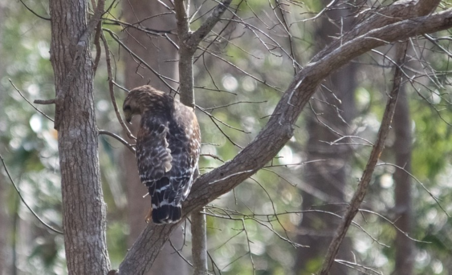 On the way back I spotted this red-shouldered hawk