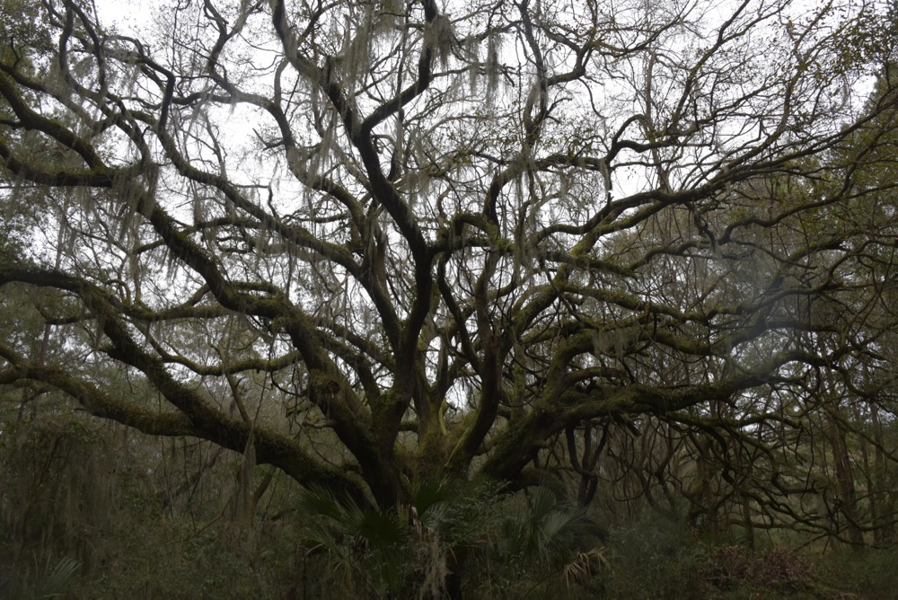 One of the quintessential trees of the Deep South...a live oak festooned with Spanish moss