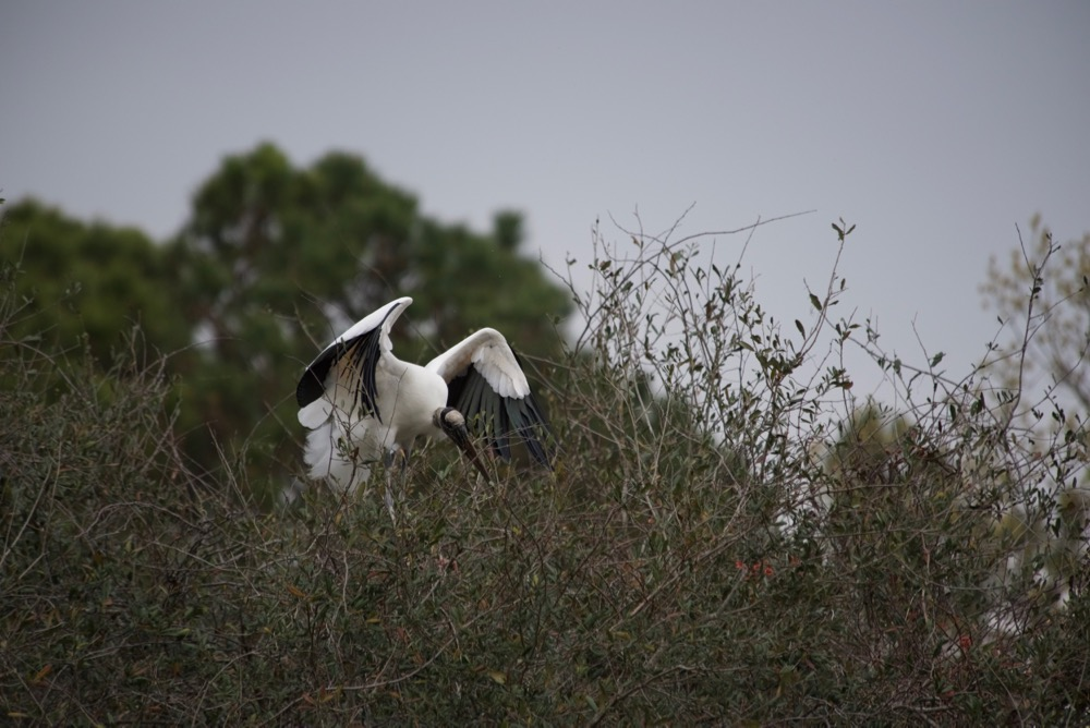 Wood stork gathering nesting materials