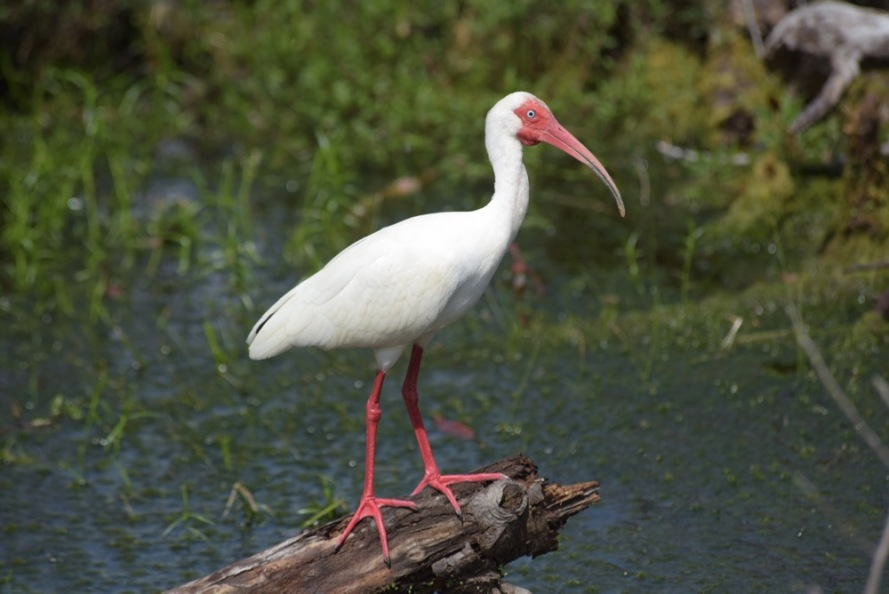 There was a large flock of white ibis all around