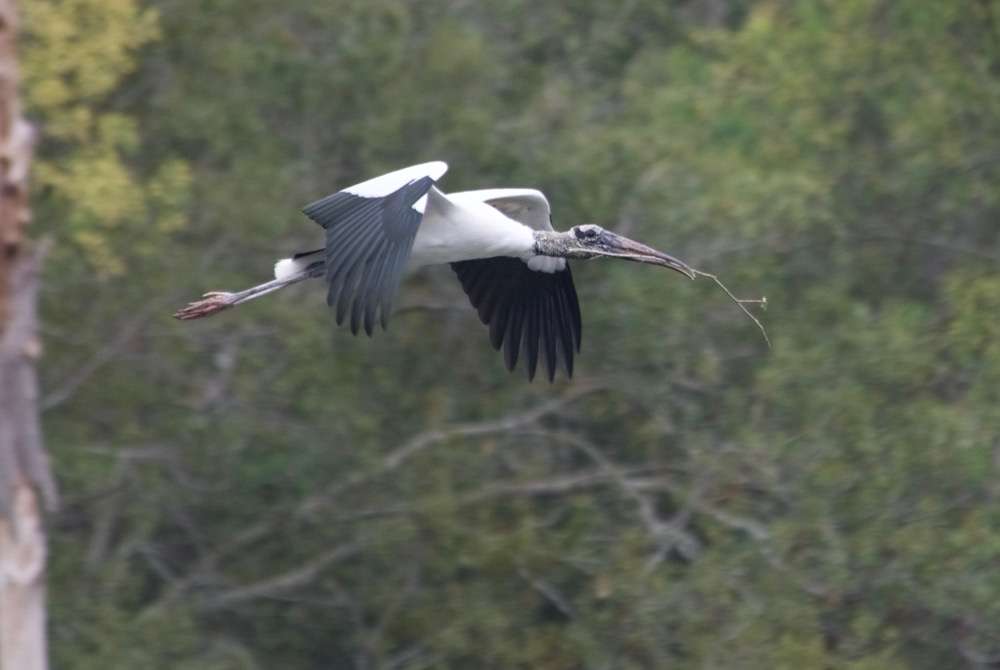 Wood stork carrying twigs back to the rookery. The birds have recently been removed from the endangered species list.