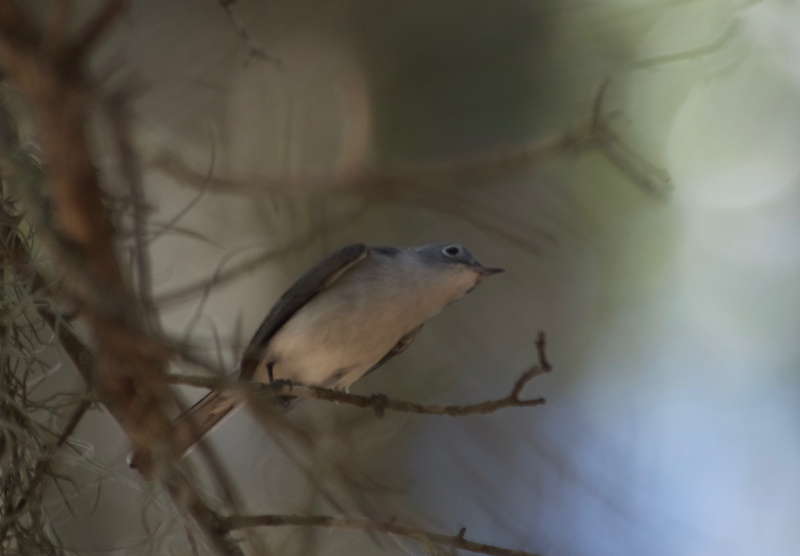 Blur-grey gnatcatcher