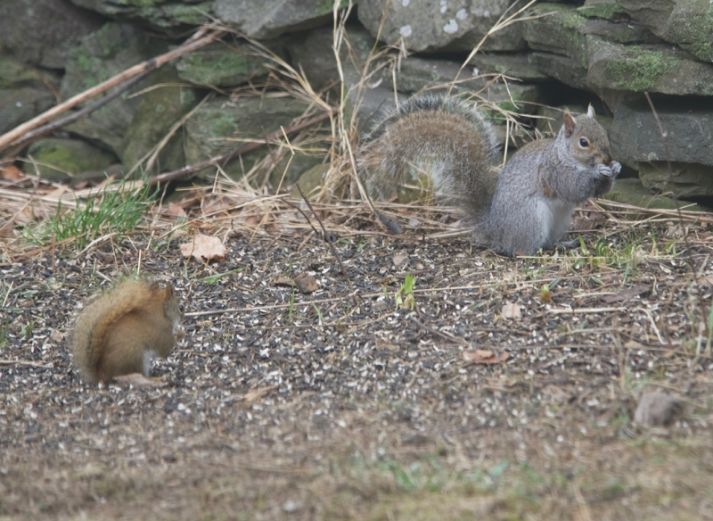 Eastern grey squirrel, red squirrel