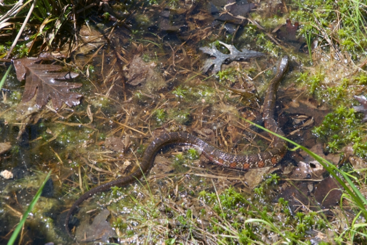 Midland water snakes
