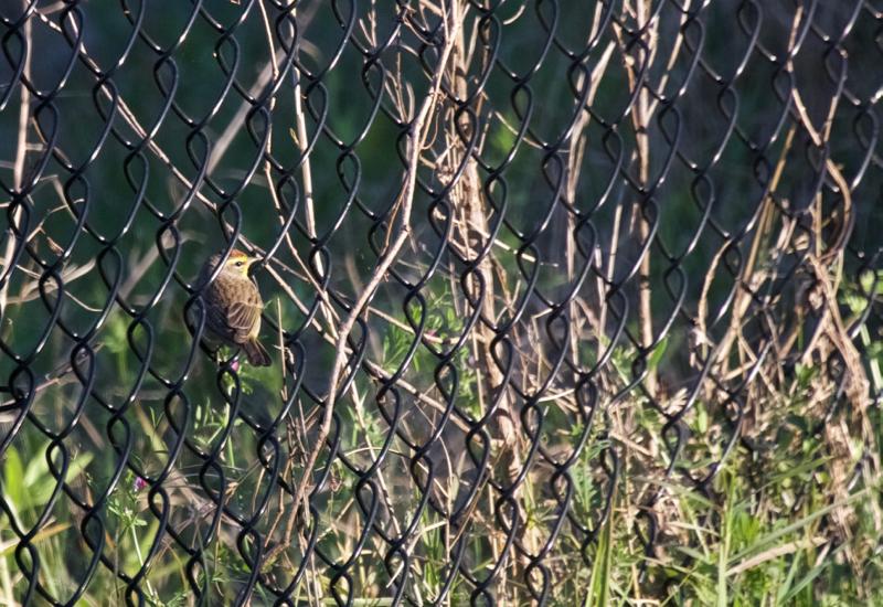 -Palm warbler