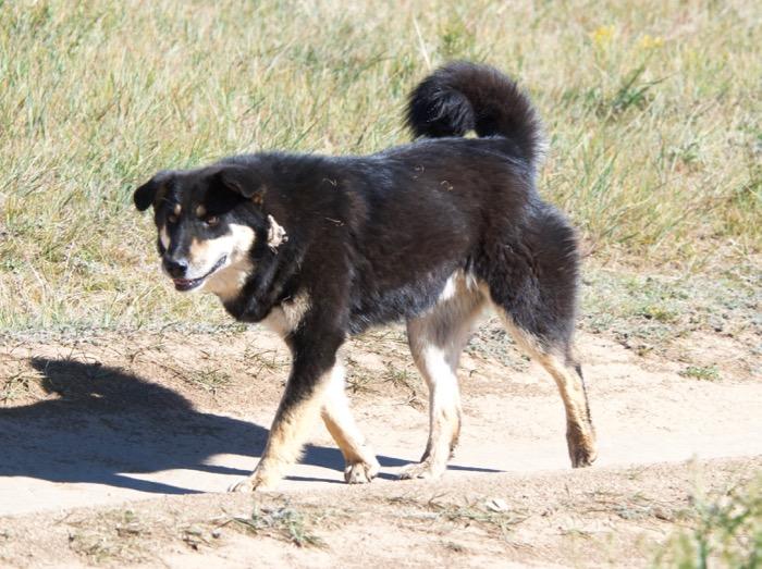 Dog Hustai – Version 2