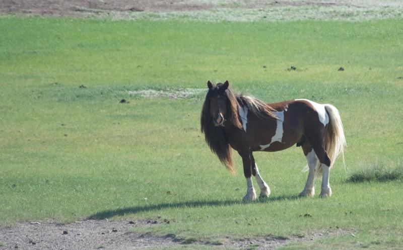 flashy stallion – Version 2