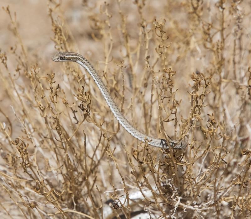 Grass snake – Version 2