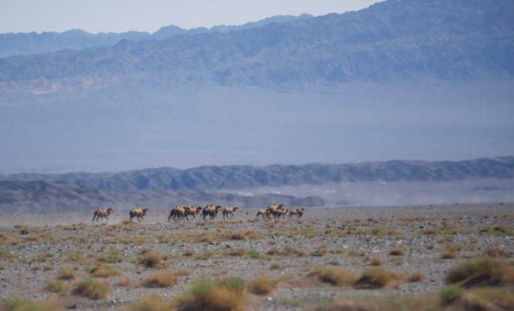wild bactrian camels