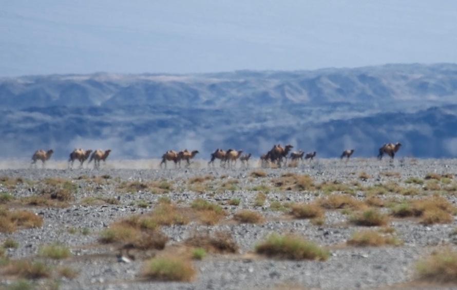 10. camels